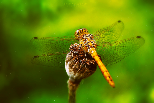 Dragonfly. by Hersmallworld