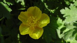 Buttercup Flower by dragonfire70