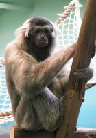 Gibbon by cat-at-the-window