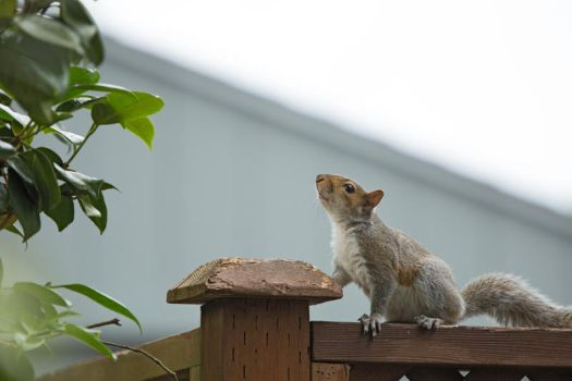 Squirrel 159: Youth by EasternGraySquirrel