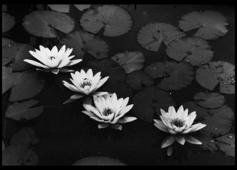 Water Lily by Aystein