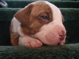 A Pitbull Puppy At 3 Weeks Old By Lostinvast On Deviantart