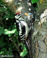 Great Spotted Woodpecker by MadInKaCC