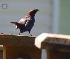 Cowbird Shouting At Finch by wolfwings1