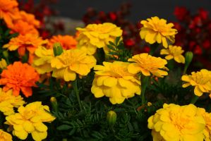 Yellow and Orange by Candilux