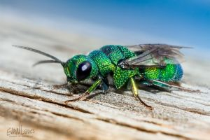 125: Colorful Cuckoo Wasp by FramedByNature