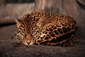 Jaguar 1 by coldkeeper