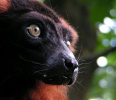 Red ruffed lemur up close by Henrieke