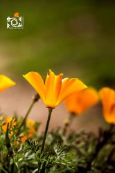California poppies by NelliesArtWorks
