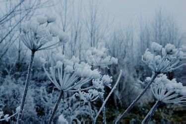 Frozen flowers by LPCPhotography