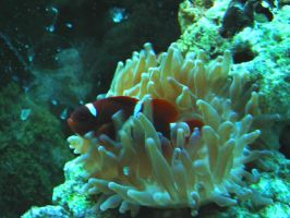 Maroon Clownfish in Anemone by Sunspot01