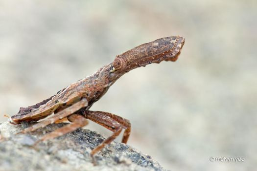 Nymph of Fulgoridae by melvynyeo