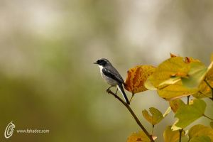 Grey Bush Chat by fahadee