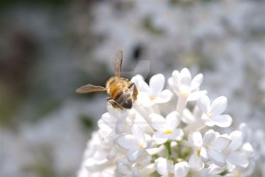 Bee on Lilac by BrianArnoldImaging
