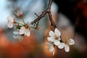 Hanging pear blossoms by fogllama
