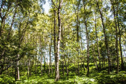 Birch Forest by nadaimages