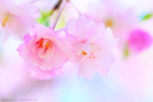 Drooping Cherry Close-up by simzcom