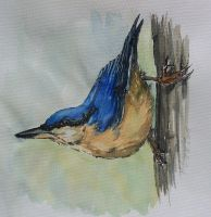 Kowalik / nuthatch by Concini