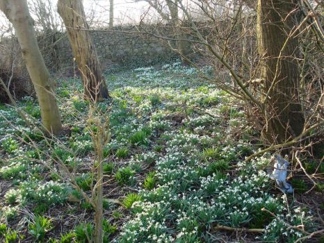 Forest of Snowdrops by Easten