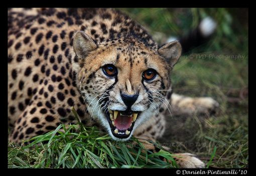 Angry Cheetah II by TVD-Photography