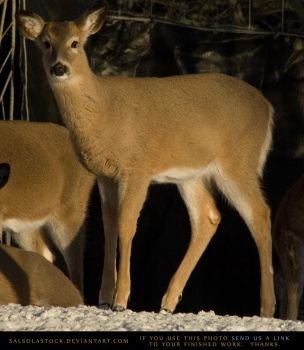 Winter Whitetail Doe 2 by SalsolaStock