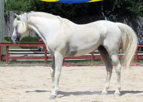 Andalusian Stand by roar-shack-stock