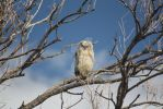 Great Horned Owl Chick by c-Hampton