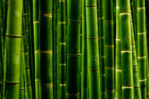 Bamboos by regardlessly