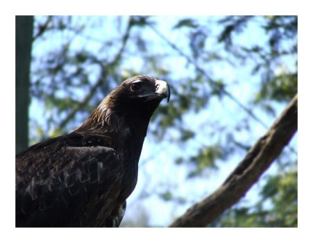 Wedge Tailed Eagle by bills2020