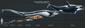 The Evolution of Toothed Whales (Restored) by TheDragonofDoom