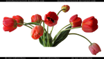 Red Tulips Cut Out 2 by ManicHysteriaStock