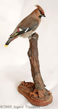 Taxidermy - Bohemian Waxwing by Illahie