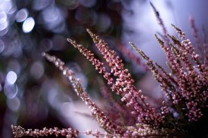 January Heather by Justine1985
