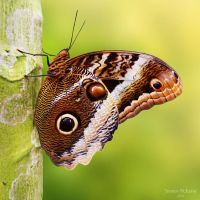 Butterfly by jeroenpaint