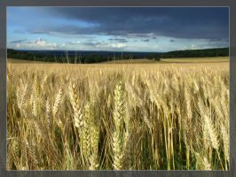 Wheat by Hocusfocus55