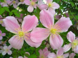 clematis by Mittelfranke