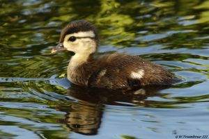 Fluffy little wood duck by natureguy
