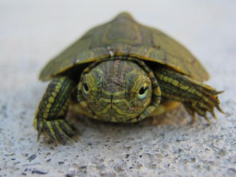 Turtle on Concrete by davidthies