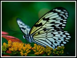 justbutterfly by justfrog