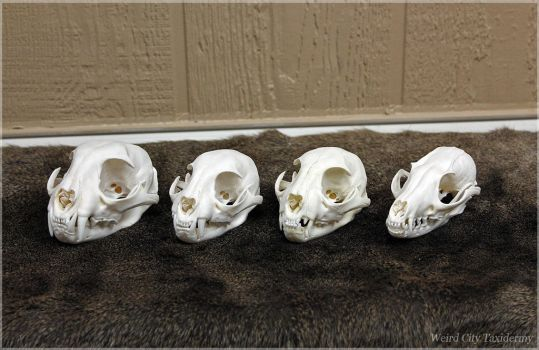Bobcats and Gray Fox (FOR SALE) by WeirdCityTaxidermy