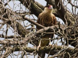 Crested Caracara by SilverMoon-Archer
