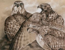 Three Red-Tails by windfalcon
