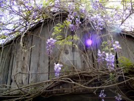 Wisteria by chelsipeters