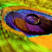 Peacock Feather by PirateShrooms