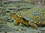 Eastern Box Turtle 001 by Elluka-brendmer