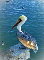 Brown Pelican by happytimer