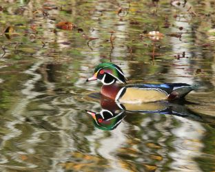 Wood Duck Male by swashbuckler