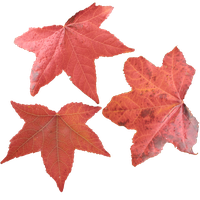 Maple Leaves PNG by simfonic