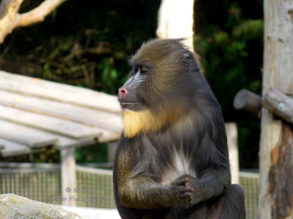 Mandrill by Delragon