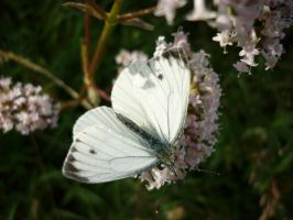 White Butterfly by C-h-a-r-l-i
